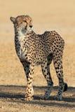 Alert Cheetah Stock Photos