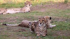 Alert cheetah with beautiful fur stock video footage