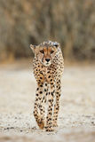 Alert Cheetah walking. An alert cheetah Acinonyx jubatus walking, Kalahari desert, South Africa royalty free stock photography