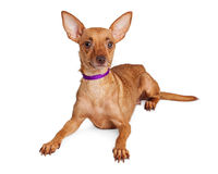 Alert Chihuahua Crossbreed Purple Collar Royalty Free Stock Photography