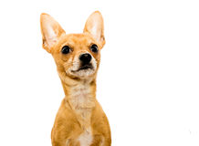 Alert Chihuahua Dog - Left. High key shot of an alert chihuahua dog in front of a white backdrop and looking upwards Royalty Free Stock Photography