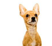 Alert Chihuahua Dog - Right. High key shot of an alert chihuahua dog in front of a white backdrop and looking upwards Royalty Free Stock Photo