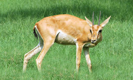 Alert chinkara deer Stock Image