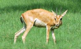 Alert Chinkara Deer Stock Image