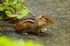 Alert Chipmonk with his jaws full of food. Stock Image
