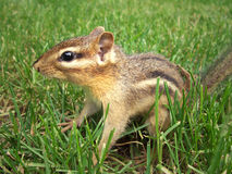 Alert Chipmunk. A chipmunk in the grass Royalty Free Stock Photos