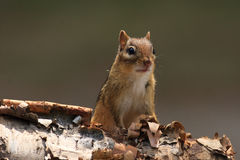 Alert Chipmunk on Birch Bark Stock Image