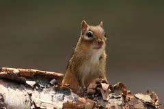 Alert Chipmunk on Birch Bark stock image
