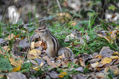Alert chipmunk grass Royalty Free Stock Photography