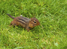 Alert chipmunk ready to run. Stock Photography