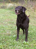 Alert Chocolate Labrador Retriever Royalty Free Stock Photo