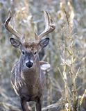 Whitetail buck in corn field stock images