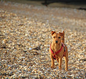 Alert coastal puppy dog Royalty Free Stock Photo