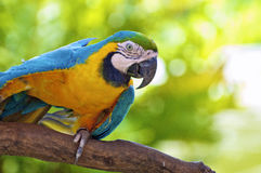 Alert Colourful Mexican Parrot Macaw with Blue and Orange Feathers Royalty Free Stock Photos