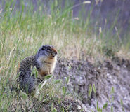 Alert Columbian Ground Squirrel Royalty Free Stock Photos