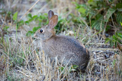Alert Cottontail Rabbit - Sylvilagus Stock Photo