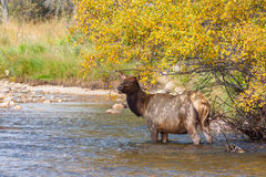 Alert Cow Elk in River Royalty Free Stock Photos