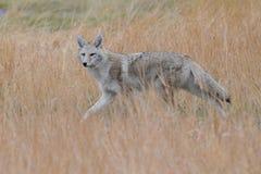 Alert Coyote Stock Photo