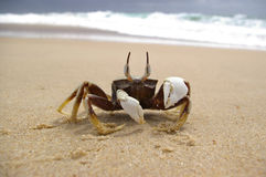 Alert crab Royalty Free Stock Images