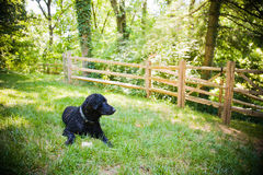 Alert Curly-Coated Retriever. A curly-coated retriever relaxing in the yard by the woods. The image has a horizontal orientation and has copy space royalty free stock photo