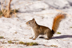 Alert cute American Red Squirrel in winter snow Royalty Free Stock Photo