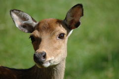 Alert deer Royalty Free Stock Photos