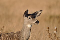 Alert Deer Royalty Free Stock Images