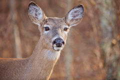 Alert Deer. An alert doe (female deer) with large brown eyes and long eyelashes. This is a White Tailed deer there is copy space stock images