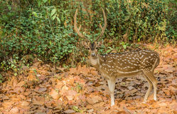 A alert deer in Dikala Royalty Free Stock Photos