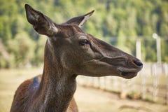 Alert deer female portrait Stock Photo