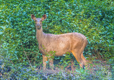 Alert deer in morning Stock Images