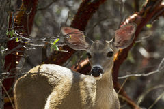 Alert Deer in Ramsey Canyon, Arizona Stock Photo