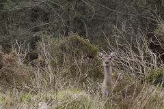 Alert deer standing between high vegetation, Ireland. Walking the wicklow way I saw a lot of deers, this was one of the nicest Royalty Free Stock Photo
