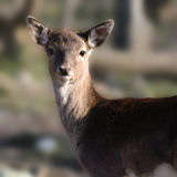 The alert deer Royalty Free Stock Photo
