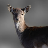 The alert deer Royalty Free Stock Images