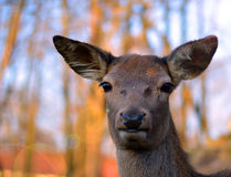 The alert deer Royalty Free Stock Photos