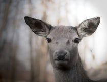 The alert deer Stock Image