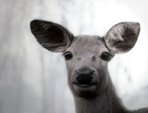 The alert deer Royalty Free Stock Image