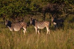 Alert djurliv för sebra tre Arkivfoton