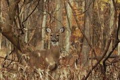 Alert Doe. In woods grazing Royalty Free Stock Photos
