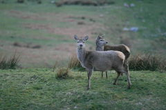 Alert Does. Two female deer alert and looking around Stock Photo