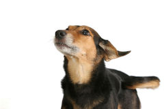 Alert dog. Dog with tail waving and snout in the air Royalty Free Stock Photography