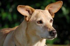 Alert dog. Brown dog in alert position Stock Photos