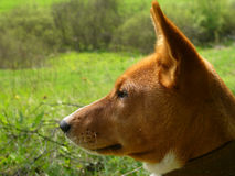 Alert dog. Side portrait of alert dog with pricked ears, green countryside background Royalty Free Stock Photography