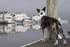 Alert Dog on the Dock. An alert, attentive dog checking out his surroundings on a dock by the ocean royalty free stock images