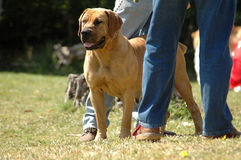 Alert dog on guard. A big full body of a Boerboel dog with alert expression in the face standing with the owner and watching other dogs in the park outdoors Stock Photo