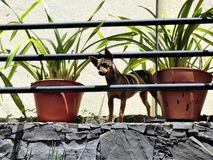 Alert dog looking through railings on a balcony between potted plants. Cute little dog looking through railings on a balcony between two potted plants stock photography