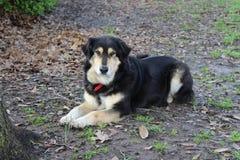 Alert Dog Stock Photography