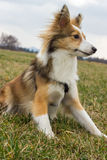 Alert Dog. Alert sheltie is ready to play Royalty Free Stock Photos