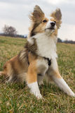 Alert Dog. Alert shetland sheepdog is ready to play Royalty Free Stock Photography